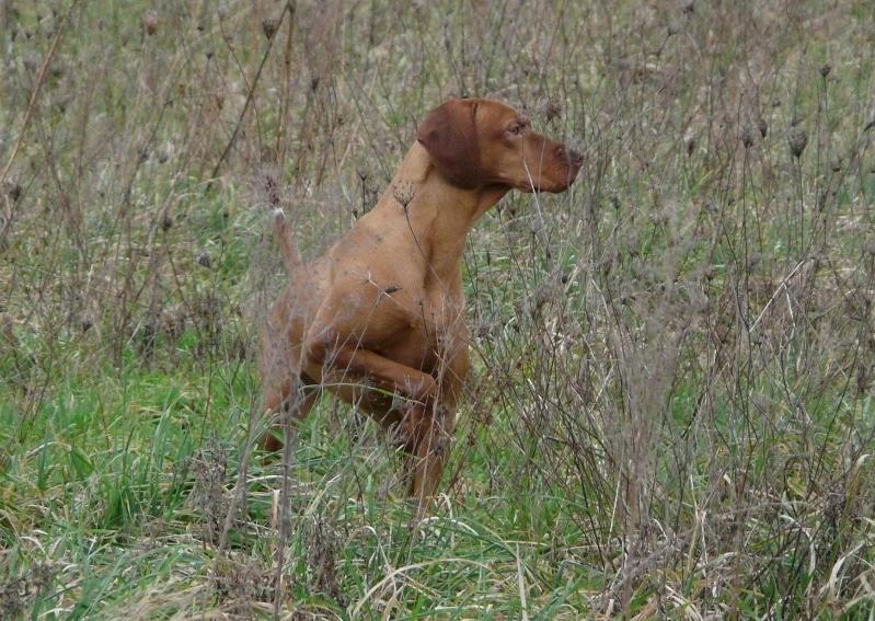 Chien elevage du chateau des mon di res eleveur de chiens braque hongrois poil court - Braque hongrois a poil court ...