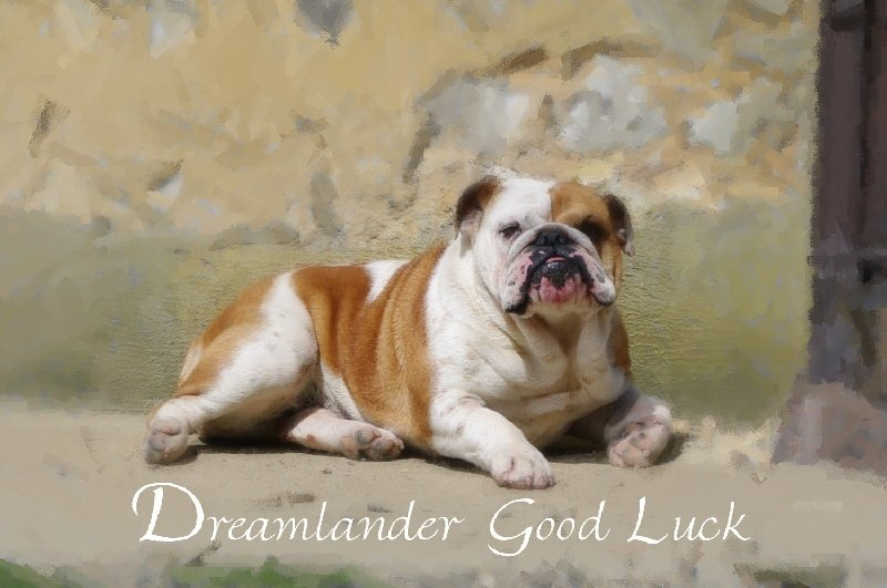Bulldog Anglais - Dreamlander Good luck