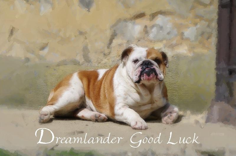 Bulldog Anglais - Dreamlander Good luck