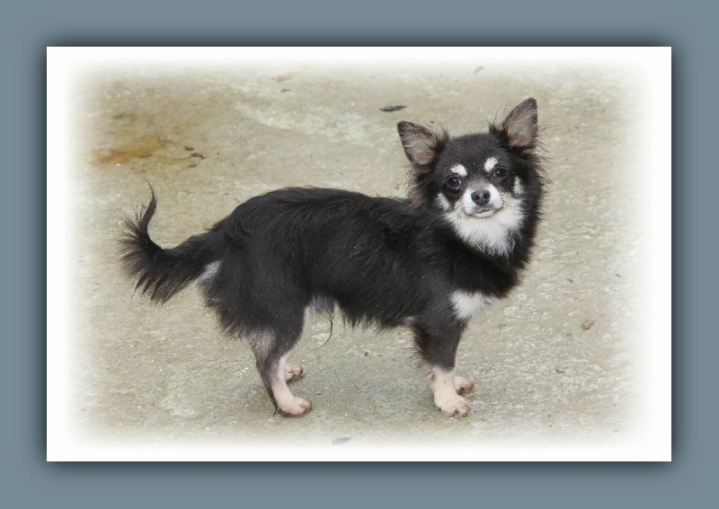 Chihuahua - Harry