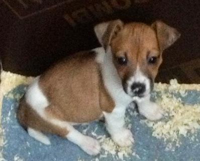 Les Jack Russell Terrier de l'affixe du Moulin de la Terrasse