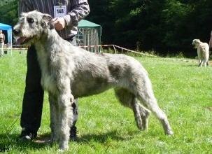 Levrier irlandais - Excalibur Du grand chien de culann