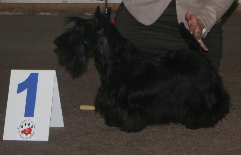 Scottish Terrier - Hope Du clos des dolls