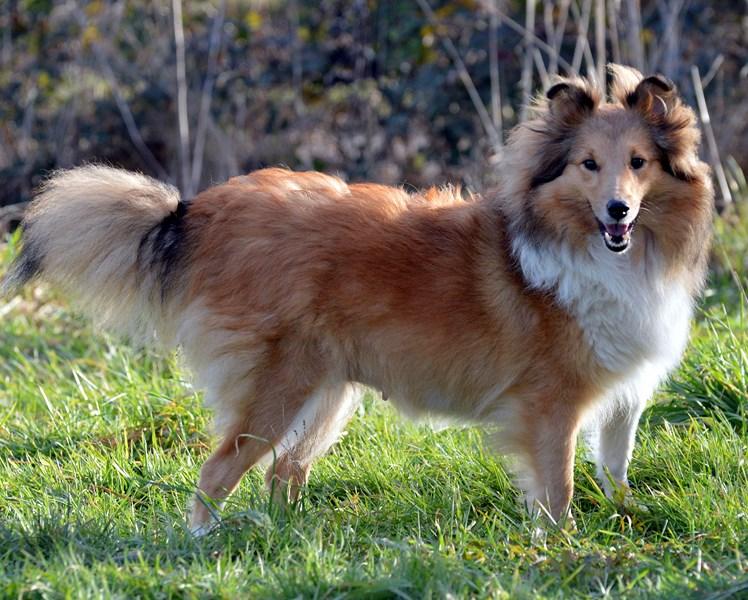 Shetland Sheepdog - rivermist Sweet gardenia