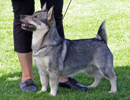 Le Standard de la race Vallhund suedois-Spitz des Wisigoths sur Atara.com