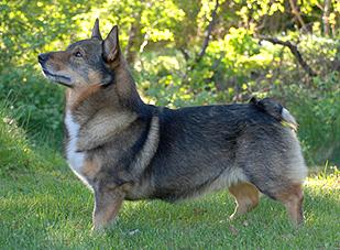 Vallhund suedois-Spitz des Wisigoths - CH. ratt o slatts Hero