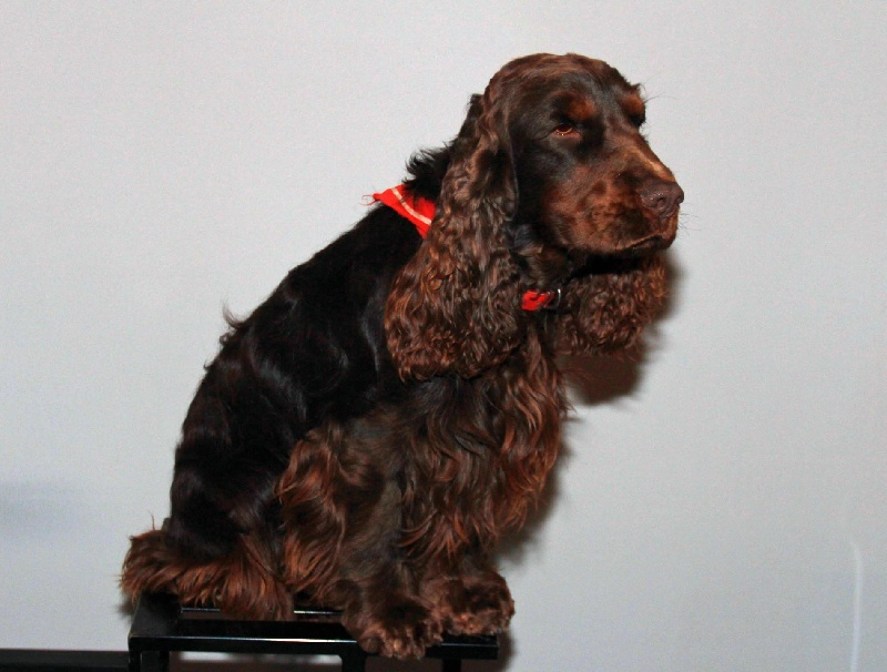 Cocker anglais : chiot vendre, chien adopter - petites