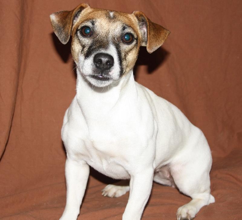 Les Jack Russell Terrier de l'affixe De La Cité Du Bolwerk