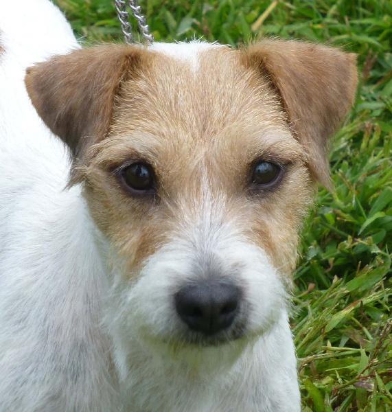 Les Parson Russell Terrier de l'affixe De la louviere en champagne