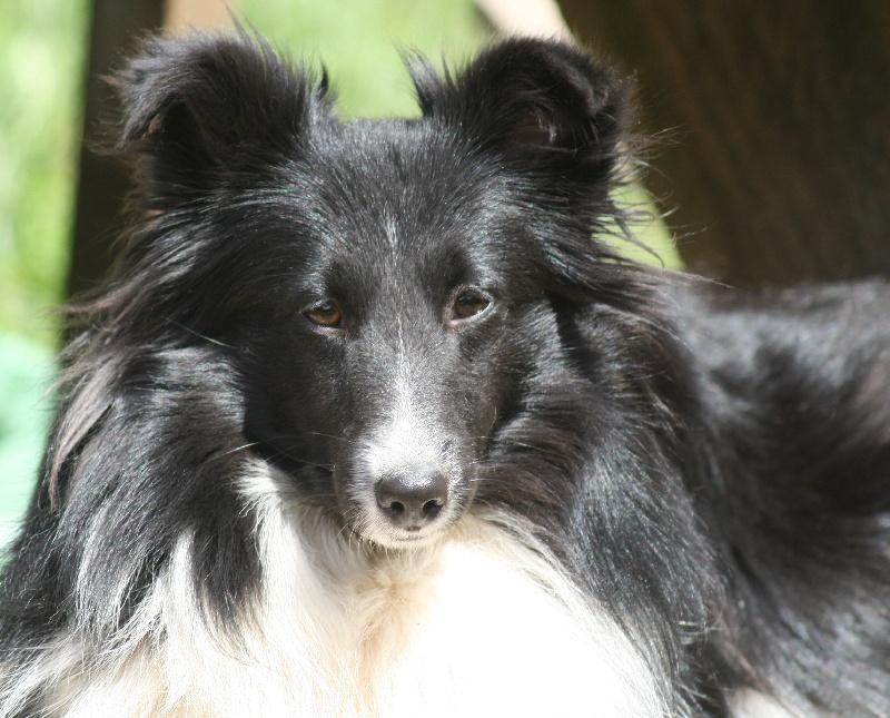 Les Shetland Sheepdog de l'affixe Des Doudous De La Grave