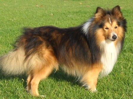 Les Shetland Sheepdog de l'affixe des trois a de plaisance