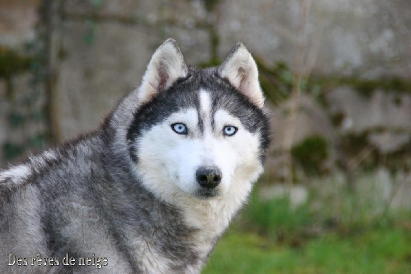 siberian husky persuasive This husky will never go hungry so long as he keeps up with these daily reminders of when it's meal time he pulls out all the stops to notify his owner what a proactive dog source & embed code: for licensing, please email licensing@rumblecom.