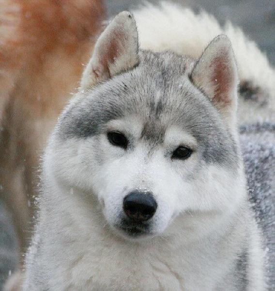 Siberian Husky - CH. howlingstar's The man o'war