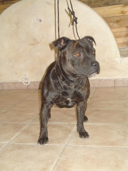 Les Staffordshire Bull Terrier de l'affixe Des Terres De Dâmal