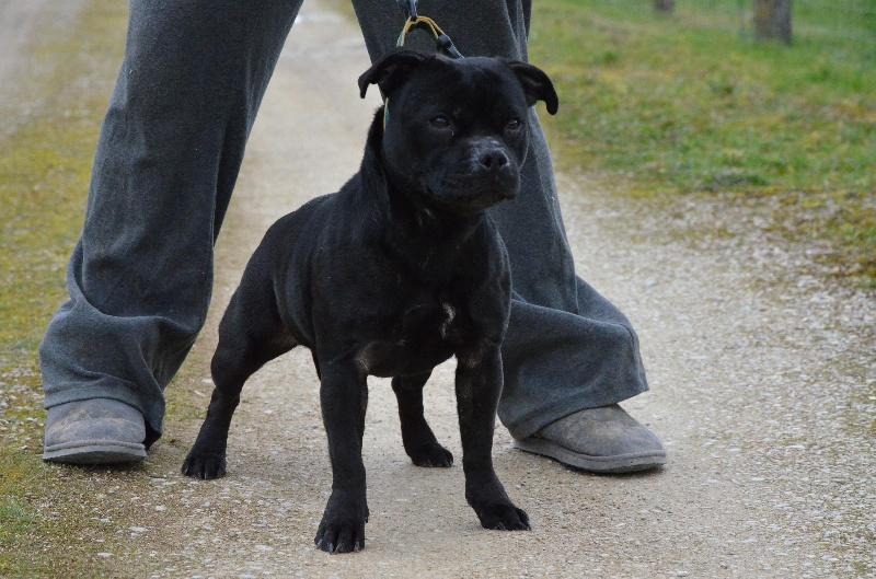 Staffordshire Bull Terrier - Gossip girl Von damon der dunkelkraft