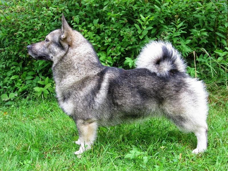 Vallhund suedois-Spitz des Wisigoths - bodeneis Harald harrow
