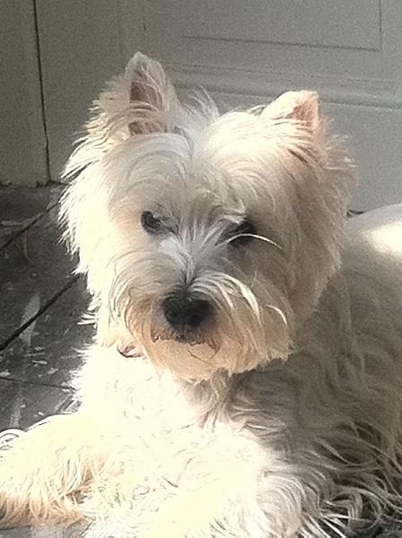 Les West Highland White Terrier de l'affixe Du domaine de fayet