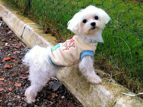 accueil elevage des poupons frises eleveur de chiens bichon havanais