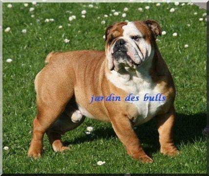 Les Bulldog Anglais de l'affixe du jardin des bulls