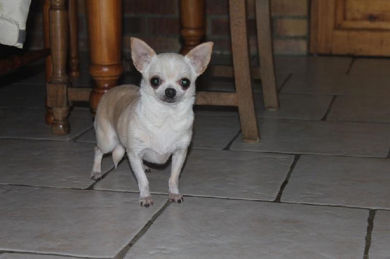 Les Chihuahua de l'affixe Du Marais Des Chimeres