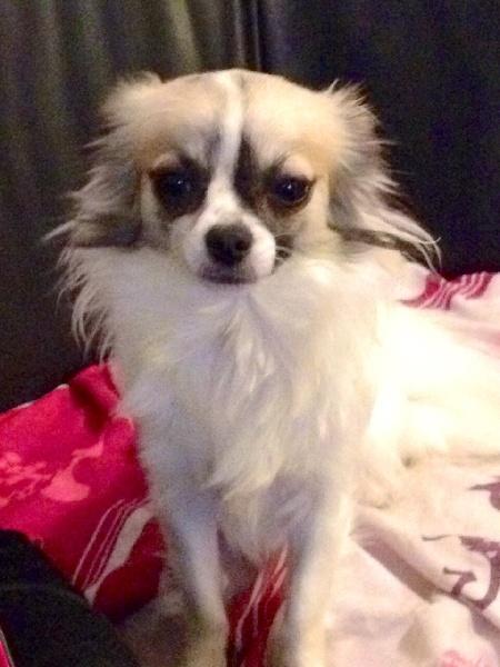 Les Chihuahua de l'affixe De La Baronnerie Des Cuillerdier