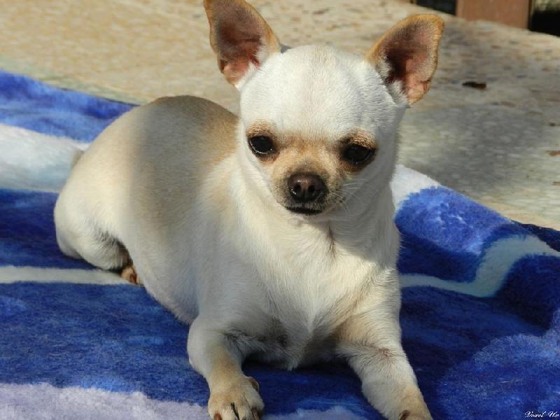 Les Chihuahua de l'affixe Voxel Ux