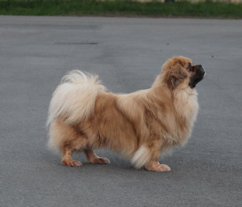 Chien - Elevage Des Gardiens De Sakya - eleveur de chiens