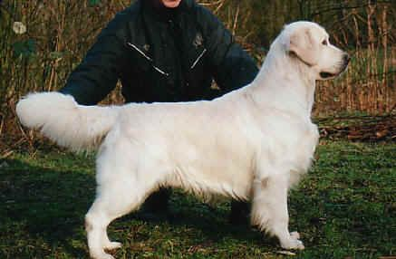 Golden Retriever - CH. Garbank Lislone jackpot