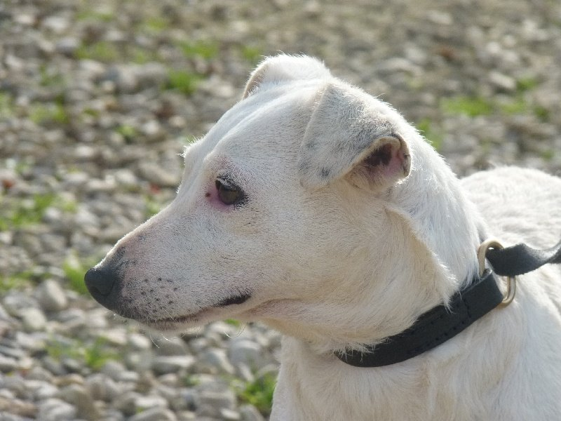 Les Jack Russell Terrier de l'affixe de Torlhak
