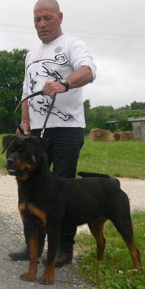 Les Rottweiler de l'affixe De L'anges Noirs Et De Feux