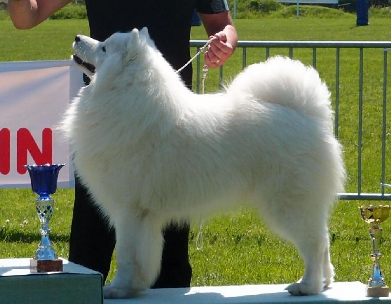 Falawa flemming dit volt of bloom white chien de race - Race chien volt ...