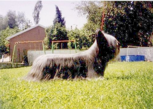 Skye Terrier - Raspoutine