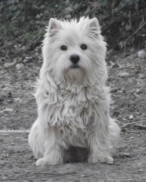 Les West Highland White Terrier de l'affixe De la paix retrouvee