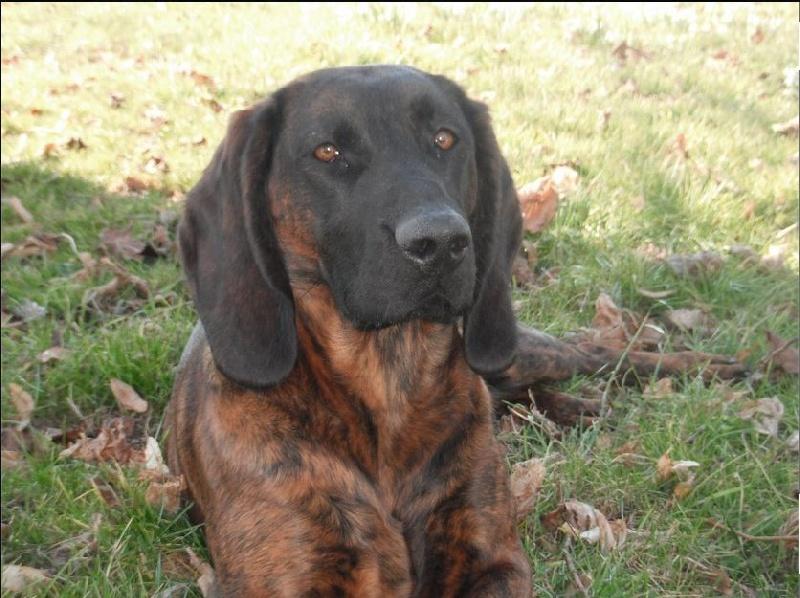 Le Standard de la race chien de Rouge de Hanovre sur Atara.com