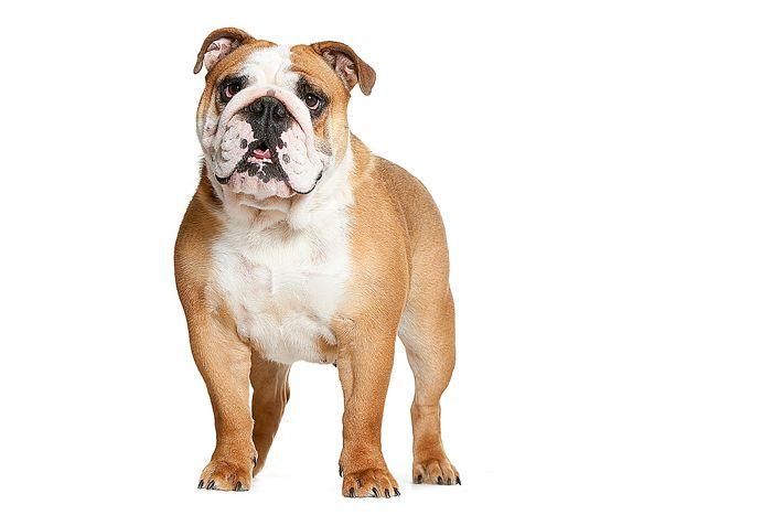 Les Bulldog Anglais de l'affixe des Dunes de Mondopale