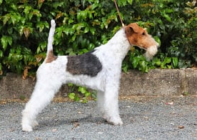Fox Terrier Poil Dur - Ice cream De la barriere rouge