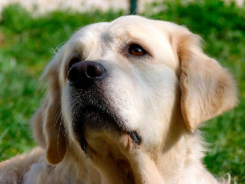 Les Golden Retriever de l'affixe Of Breizh Golden Star