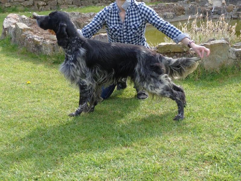chien elevage du bois de la feuillarde eleveur de chiens setter anglais. Black Bedroom Furniture Sets. Home Design Ideas