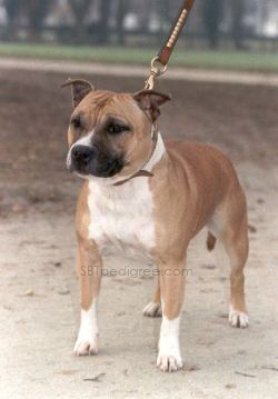 Staffordshire Bull Terrier - Bullyhouse Rolling stone