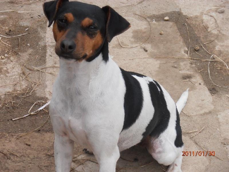 Terrier Bresilien - Felpa