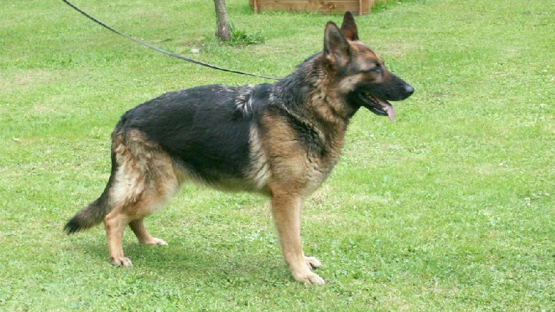 Chien - Elevage des terres de Sax - eleveur de chiens