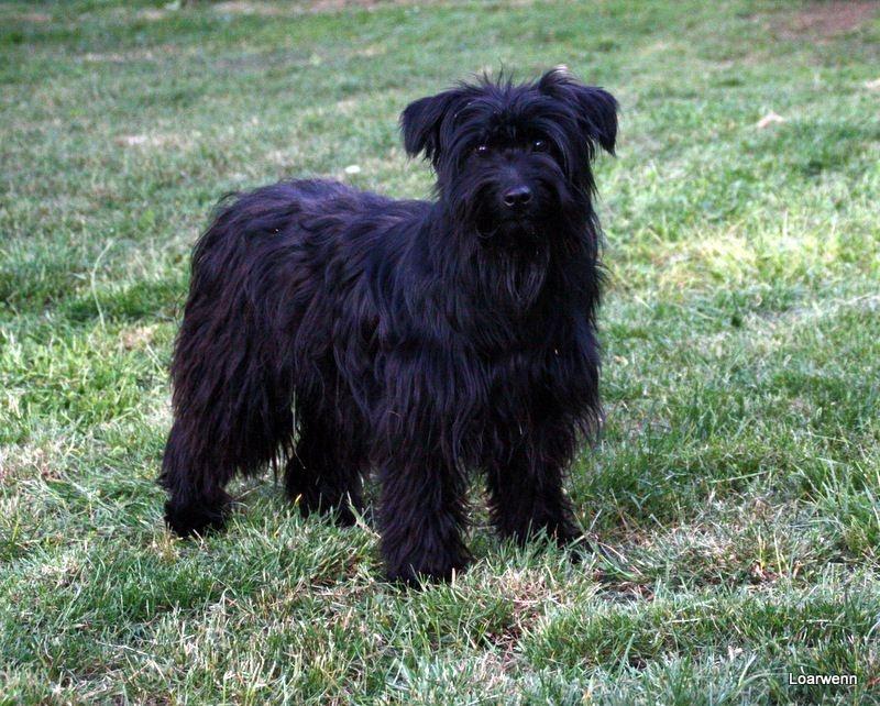 houps de loarwenn chien de race toutes races en tous departements france inscrit sur chiens de. Black Bedroom Furniture Sets. Home Design Ideas