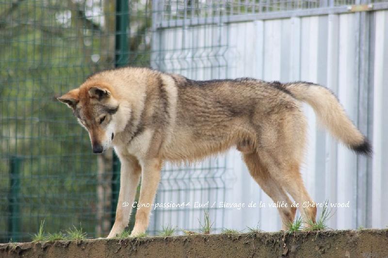 Plus adapté Like a wolf dit hayden P'tits Loups d'Amour chien de race toutes WR-58