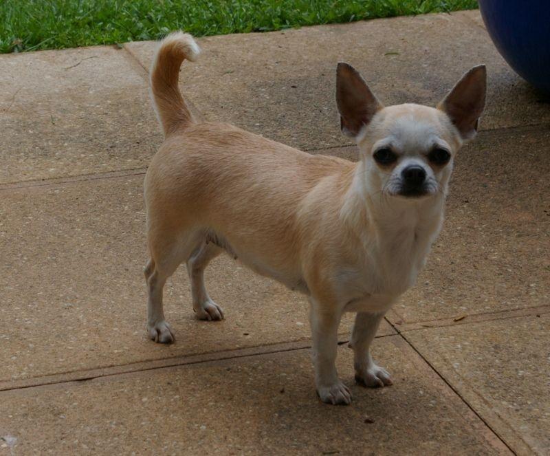 Les Chihuahua de l'affixe Du Puits Des Guerriers
