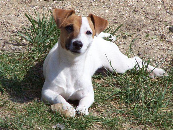 Les Jack Russell Terrier de l'affixe Des Bulljack Des Bestfriends