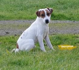 Les Parson Russell Terrier de l'affixe a l'ouest des prés de l'abby