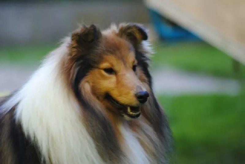 Les Shetland Sheepdog de l'affixe des Diablotins de Nooch