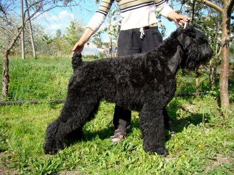 Le Standard de la race Terrier noir sur Atara.com