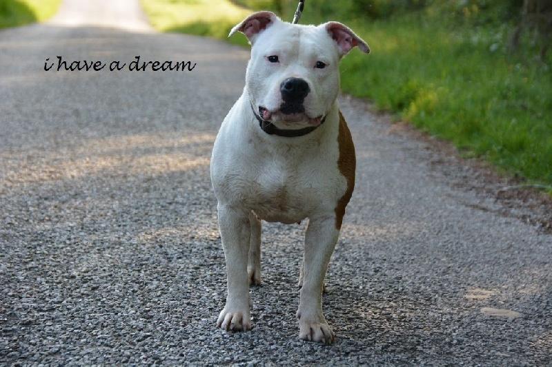 Les American Staffordshire Terrier de l'affixe I have a dream