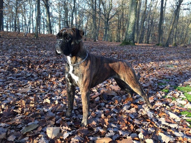 Les Boxer de l'affixe Des Mystères De La Forêt